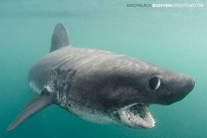 Salmon shark diving in alaska
