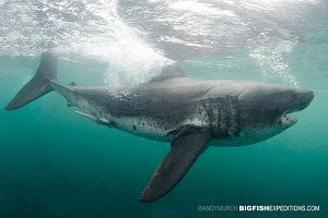 Salmon shark at the surface