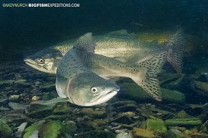 Snorkeling with salmon in alaska