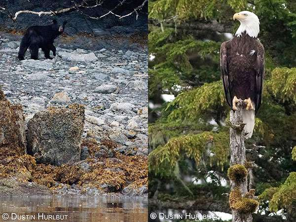 Bear viewing and bald eagles in alaska