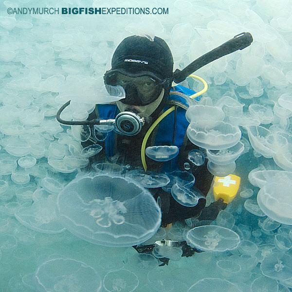 Jellyfish bloom in Alaska