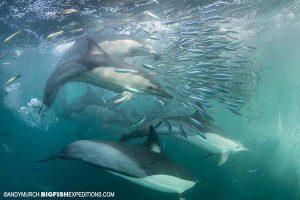 Dolphins on a baitball during the sardine run