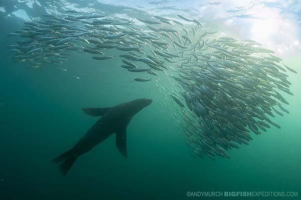 Cape fur seal on a bait ball during the sardine run