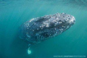 Humpback whale on the sardine run