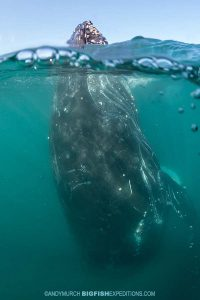 Spy hopping humpback whale