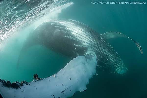 Friendly humpack whale on the sardine run