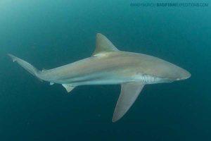 Bronze whaler shark on the sardine run