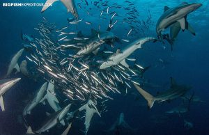 Shark diving the sardine run