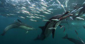 Dolphins attacking sardines on the Sardine Run