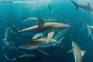 Sharks circling last of sardine run