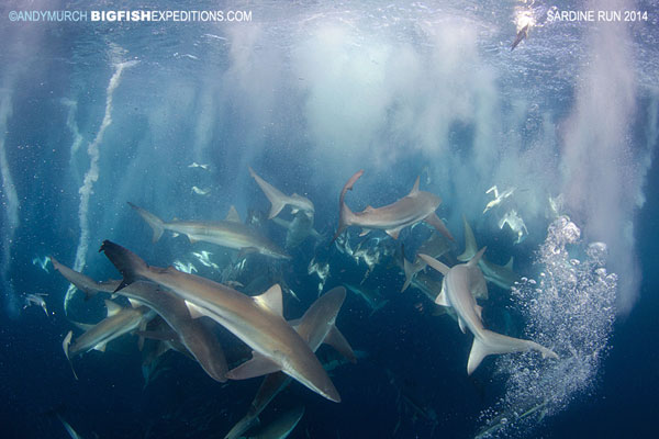 Sharks in sardine run
