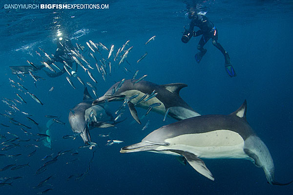 Photographing dolphins and sardine run