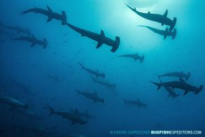 Diving with scalloped hammerheads at Darwin's Arch in the Galapagos Islands