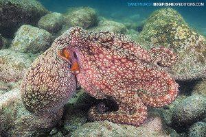 Twin spot octopus diving