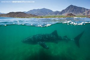 Whale shark at Bahia to los Angeles