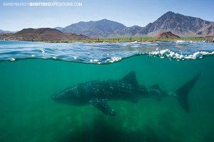 Whale shark at Bahia to los Angeles