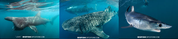 diving with whale sharks and basking sharks
