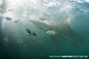 sharks in bad visibility may lead to an attack