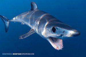 Shortfin Mako snorkeling