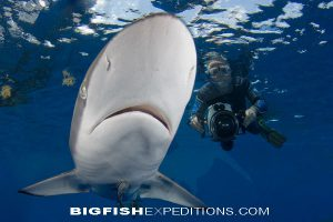 Silky Shark Diving Socorro