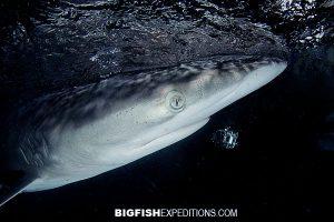 Silky sharks at night