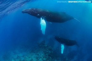 Mother and humpback whale calf diving