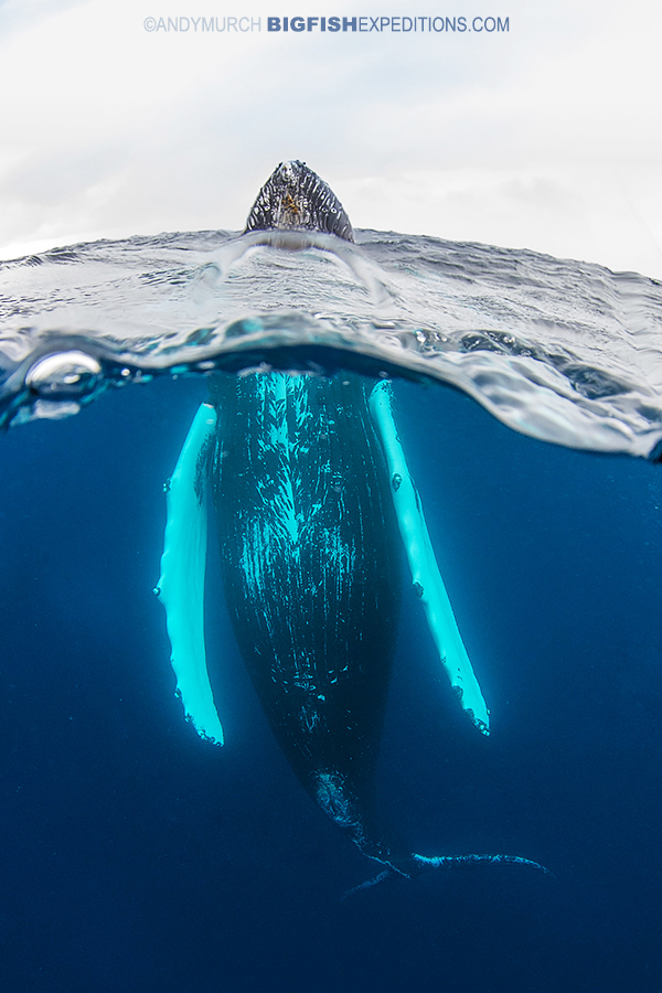 Spy hopping humpback whale diving