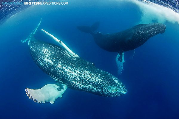 Snorkeling with humpback whales