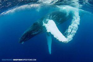 A humpback whale slaps his fin creating a bubble stream.