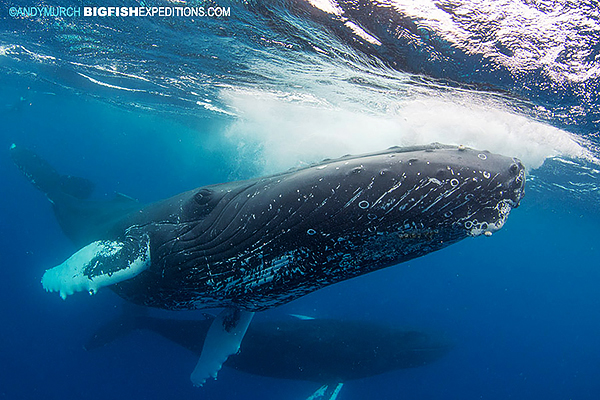 Humpback whale diving encounter