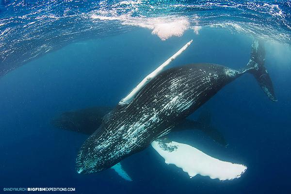 Humpback whale valentine