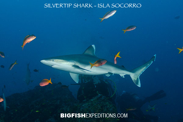 silvertip shark diving