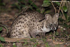 Small Indian Civet Sri Lanka Safari