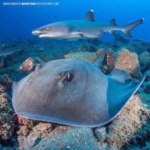 Diving with stingrays and sharks in Socorro