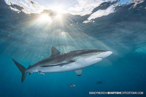 Silky shark diving at sunset