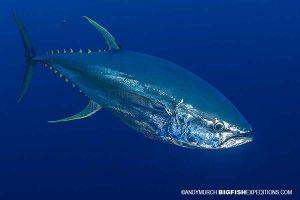 Yellowfin tuna hunting.