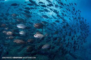 Diving with cottonmouth jacks at Roca Partida
