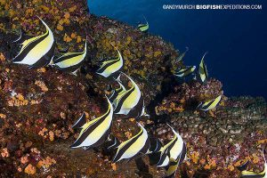 Diving with moorish idols and other fish in Socorro