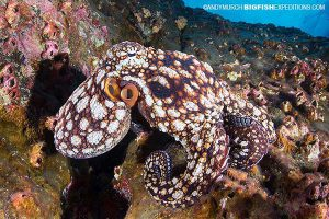 Diving with twinspot octopus in Socorro