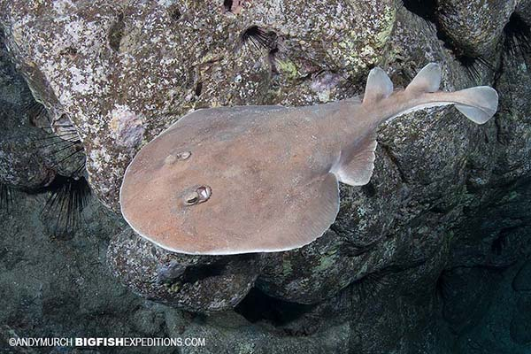Diving with giant electric rays in Socorro