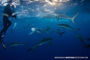 Snorkelling with silky sharks in Socorro Island