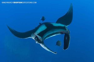 Diving with Mantas in Socorro
