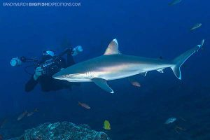 Silvertip shark diving at Socorro Island