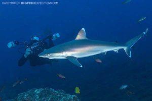 Silvertip shark diving at Socorro Island