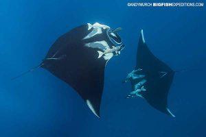 Manta ray encounters