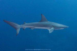 Dusky shark diving at Socorro.
