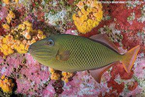 Redlined triggerfish at Socorro.