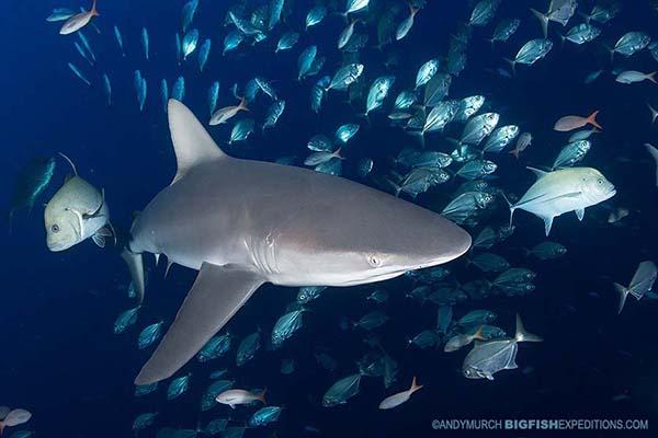 Shark diving at Socorro