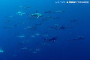 Schooling hammerhead sharks at Socorro
