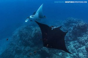 Black and white manta rays